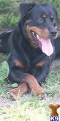 rottweiler puppy posted by Judyfab