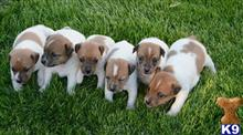 jack russell terrier puppy posted by Judyfab