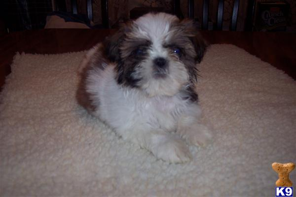 shih tzu breeders in md cheap shih tzu puppies for sale in maryland 7552