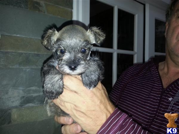 Miniature Schnauzer Puppies for sale in Utah Miniature Schnauzer Utah Miniature Schnauzer Utah