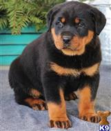 rottweiler puppy posted by Justine748