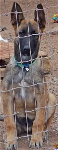 belgian malinois puppy posted by K-9 Kila