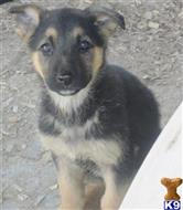 german shepherd puppy posted by KATEN