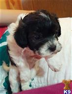 havanese puppy posted by KATEN