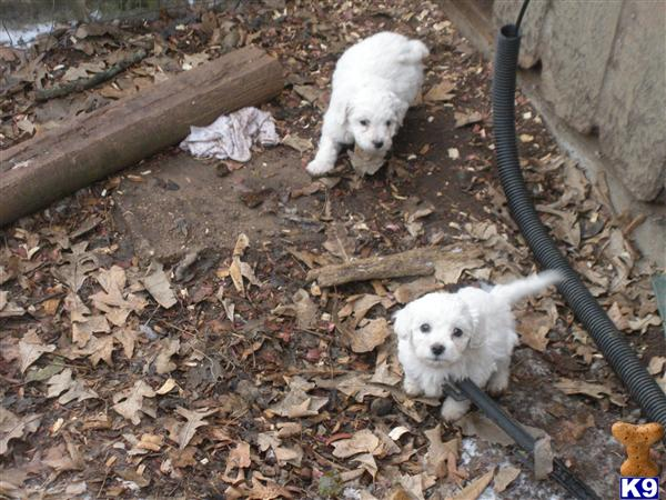 bichon frise puppy posted by KDowning