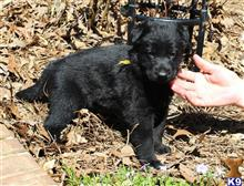 german shepherd puppy posted by KLUGH ROAD KENNELS