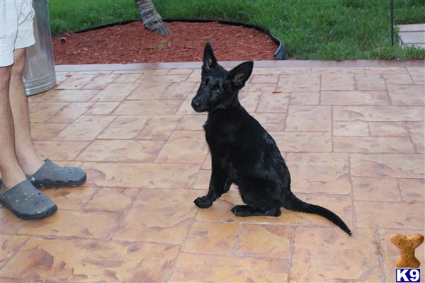 how to train a 3 year old german shepherd