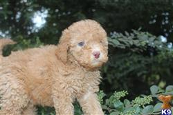 labradoodle puppy posted by KYLakeDoodles
