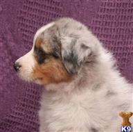 australian shepherd puppy posted by Kattie567