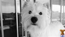 West Highland White Terrier Stud Dogs