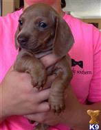 dachshund puppy posted by Keljenk