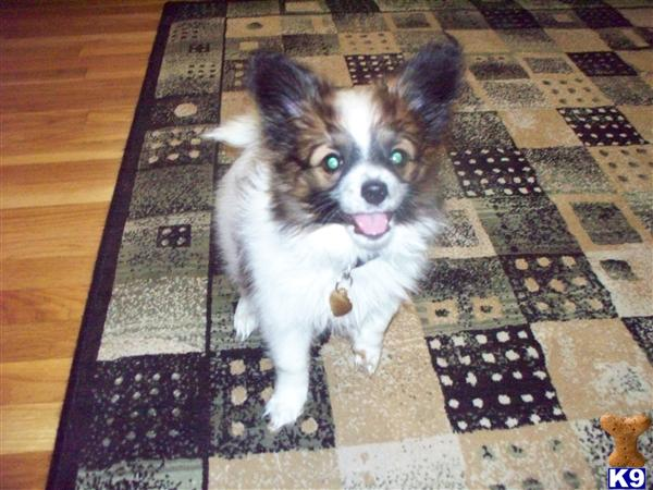 papillon puppy posted by Kelly D