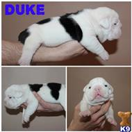 old english bulldog puppy posted by Kennys Kennels