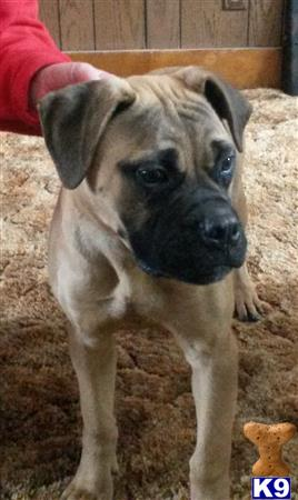 bullmastiff puppy posted by Kenpacker1970