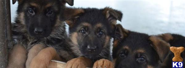 german shepherd puppy posted by Kevindaley