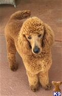 poodle puppy posted by Kidzrgrat