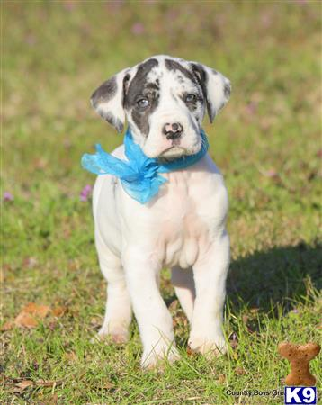 great dane puppy posted by KimBarber