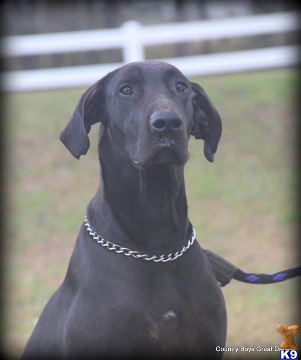 Great Dane Adults For Sale 121