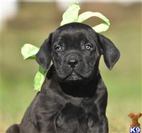 cane corso puppy posted by KimBarber