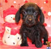 dachshund puppy posted by Kimberly Jones