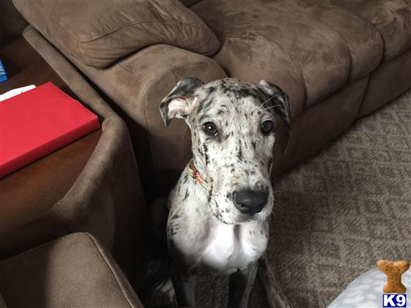 great dane puppy posted by Kirk goss