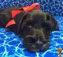 miniature schnauzer puppy posted by KristinLS25