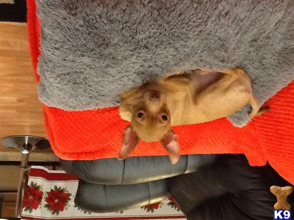 chihuahua puppy posted by LMA
