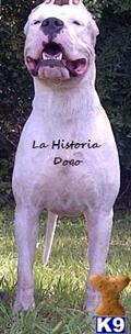 dogo argentino puppy posted by LaHistoria