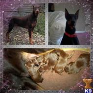 doberman pinscher puppy posted by LadyT Doberman