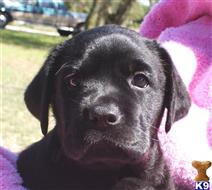 labrador retriever puppy posted by Laffitte