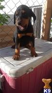 doberman pinscher puppy posted by Lalirocks