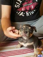 american bully puppy posted by Lampros181