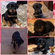 rottweiler puppy posted by Larry Starling