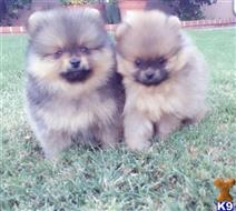 pomeranian puppy posted by Lauracreations