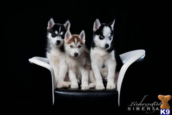 siberian husky puppy posted by Lauradale