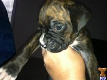 boxer puppy posted by Laurie73