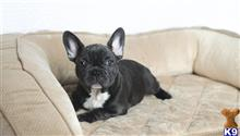 french bulldog puppy posted by Lee123