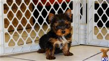 yorkshire terrier puppy posted by Lee123