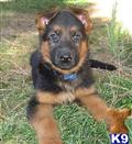 german shepherd puppy posted by Lenga