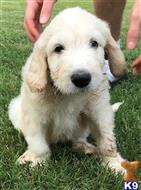 goldendoodles puppy posted by LisaHise