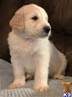 great pyrenees puppy posted by LisaHise