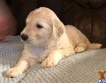 labradoodle puppy posted by LisaHise