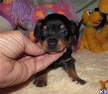 dachshund puppy posted by Little Paws