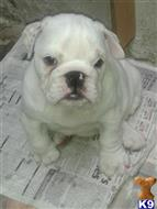 bulldog puppy posted by Lloydbenson79