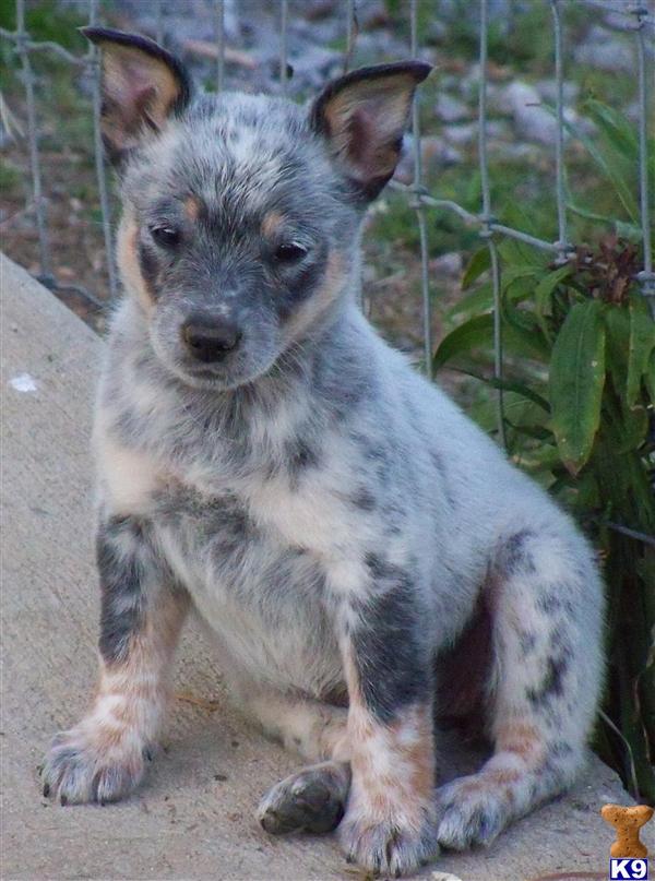 Miniature Australian Cattle Dog Rescue