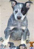 australian cattle dog puppy posted by Lookout Farm