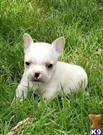 french bulldog puppy posted by Lucia Megins