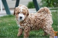 poodle puppy posted by Luico Febian