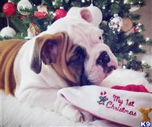 english bulldog puppy posted by LydyBugBulldogs