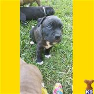 american pit bull puppy posted by Lynsey Tyndall